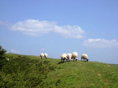 Les brebis ravas maintiennent ouverts les paysages de la chaîne des puys