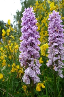 orchidee sauvage auvergne