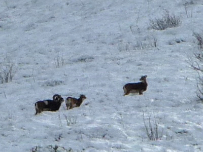Mouflons auvergne guide nature randonnee