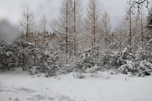 Mélèze en hiver