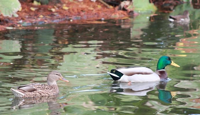 Canard colvert (mâle suivi de sa femelle)