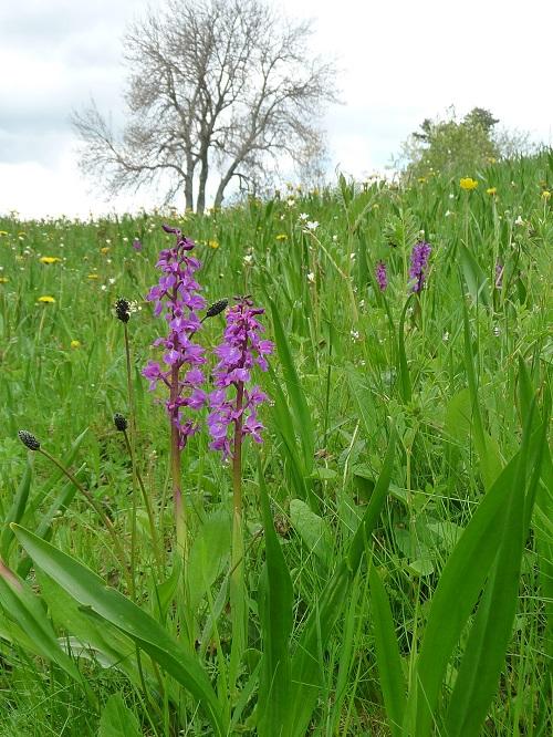 Orchidées dans une prairie permanente