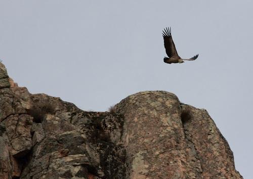 Envol d'un vautour fauve