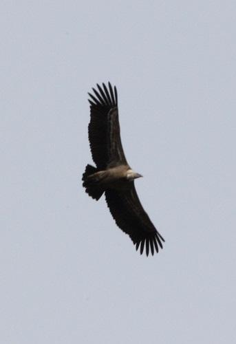 Silhouette de vautour